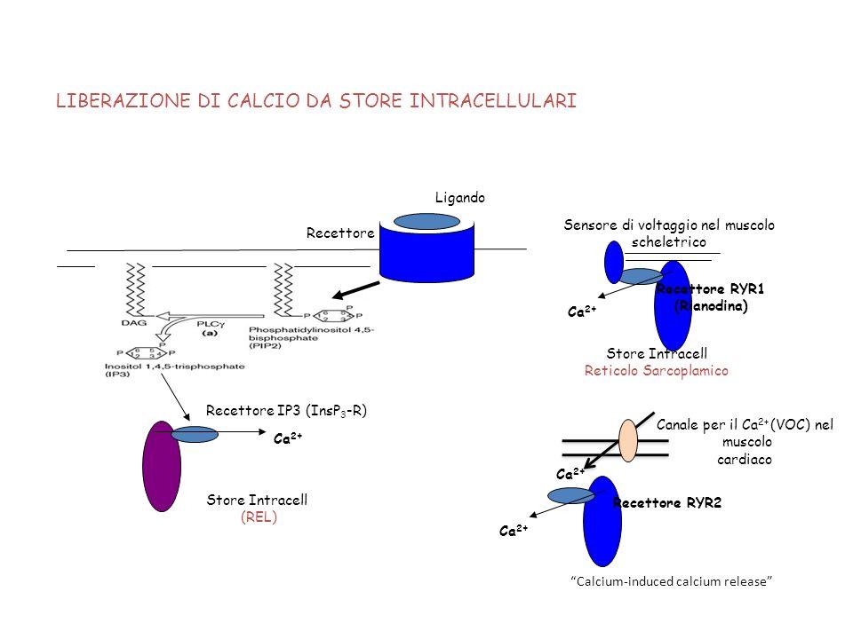 Recettore Ligando Recettore IP3 (InsP 3 -R) Store Intracell (REL) Ca 2+ LIBERAZIONE DI CALCIO DA STORE INTRACELLULARI Store Intracell Reticolo Sarcopl