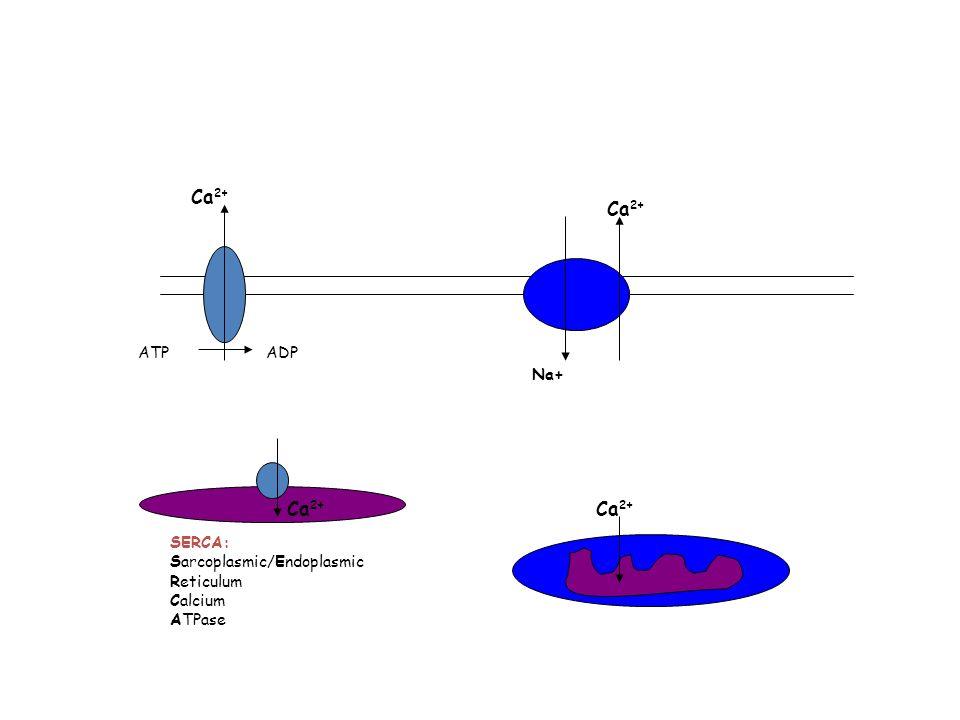 Ca 2+ ATPADP Ca 2+ Na+ Ca 2+ SERCA: Sarcoplasmic/Endoplasmic Reticulum Calcium ATPase Ca 2+