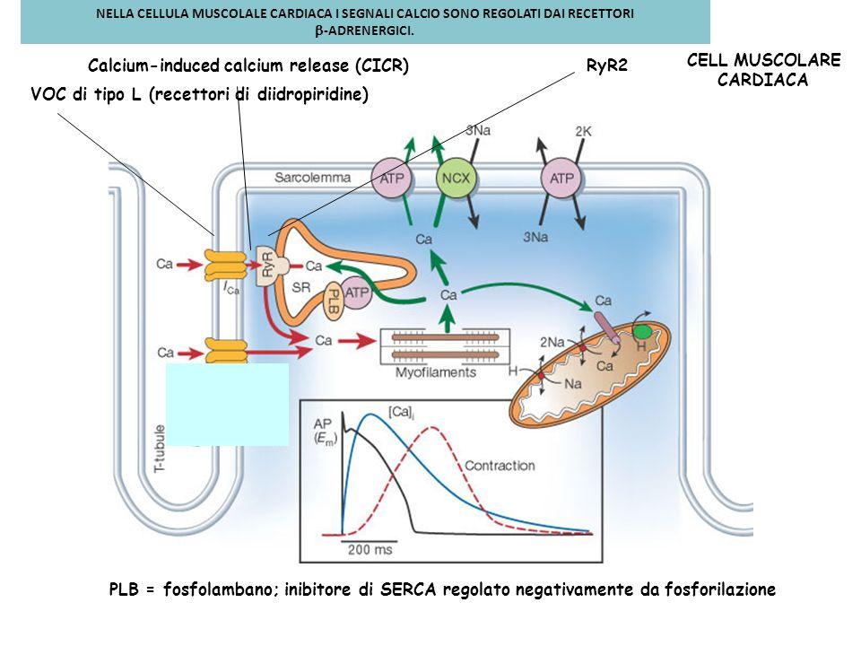 PLB = fosfolambano; inibitore di SERCA regolato negativamente da fosforilazione Calcium-induced calcium release (CICR) VOC di tipo L (recettori di dii
