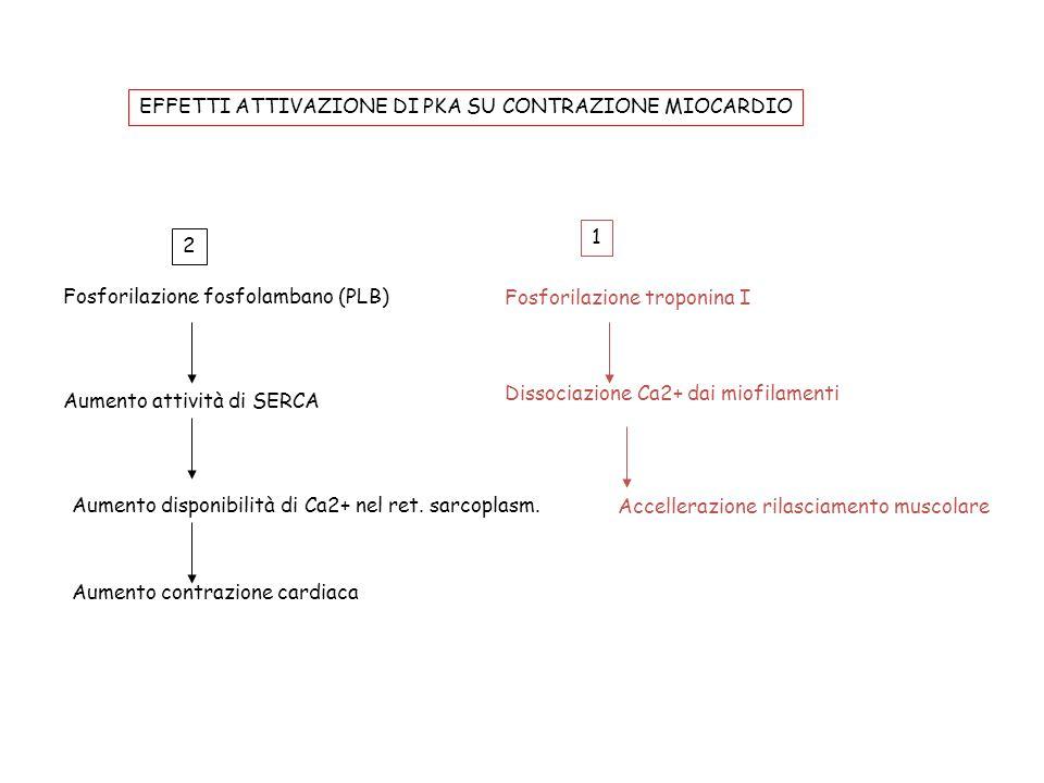 Fosforilazione fosfolambano (PLB) Aumento attività di SERCA Aumento disponibilità di Ca2+ nel ret. sarcoplasm. Aumento contrazione cardiaca Fosforilaz