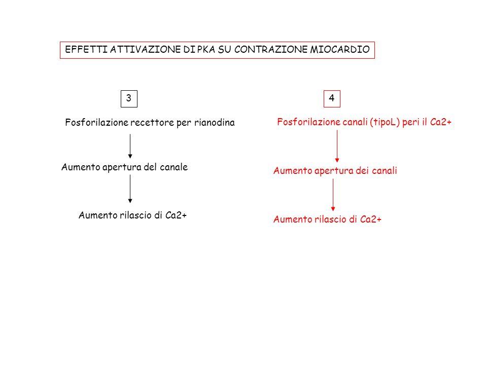Fosforilazione recettore per rianodina Aumento apertura del canale Aumento rilascio di Ca2+ 3 Fosforilazione canali (tipoL) peri il Ca2+ Aumento apert