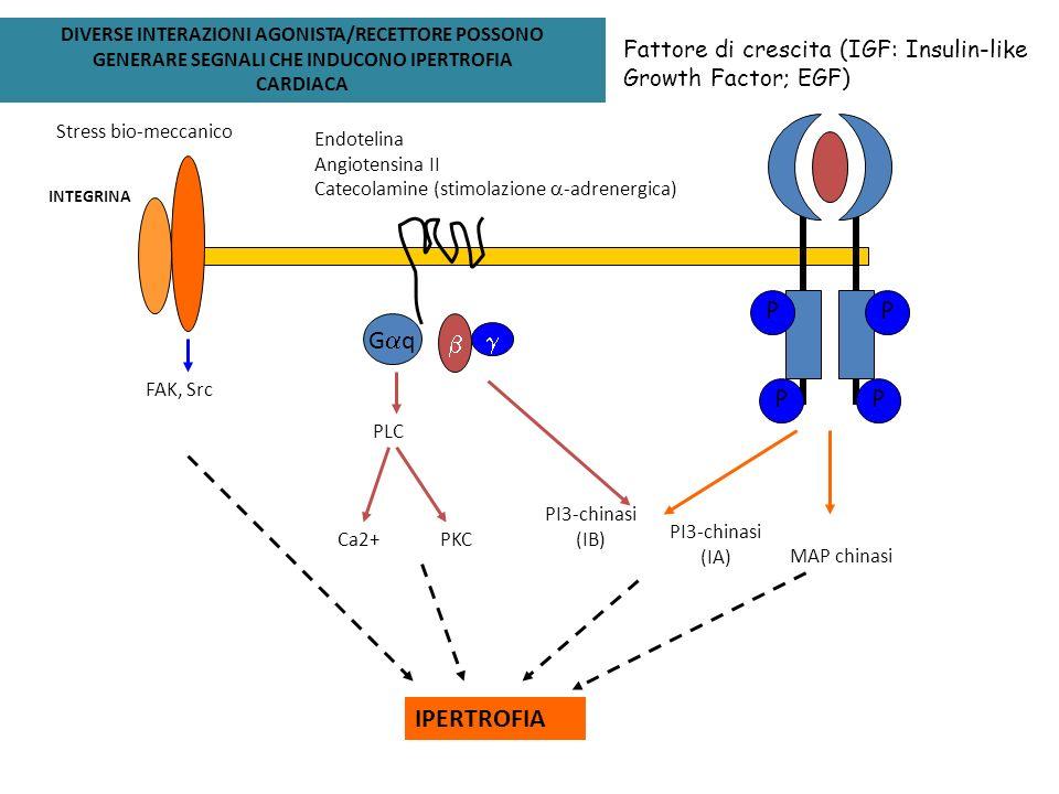 PPPP Fattore di crescita (IGF: Insulin-like Growth Factor; EGF) IPERTROFIA G q Endotelina Angiotensina II Catecolamine (stimolazione -adrenergica) PLC