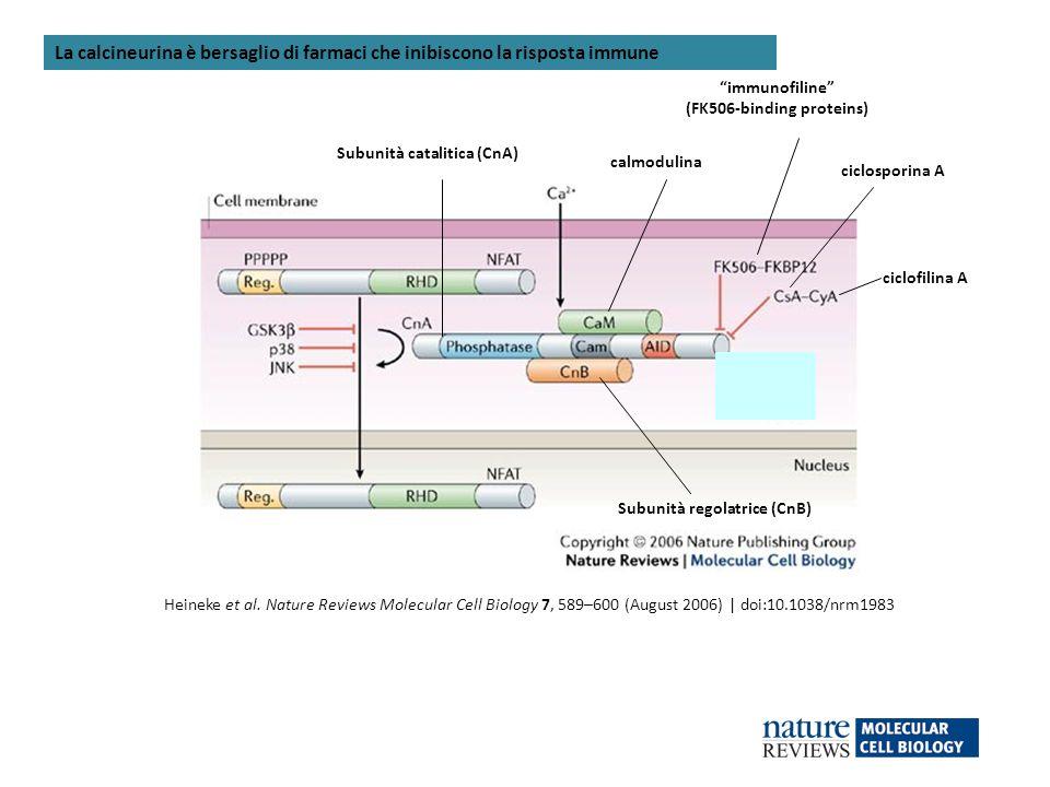 Heineke et al. Nature Reviews Molecular Cell Biology 7, 589–600 (August 2006) | doi:10.1038/nrm1983 calmodulina Subunità catalitica (CnA) Subunità reg