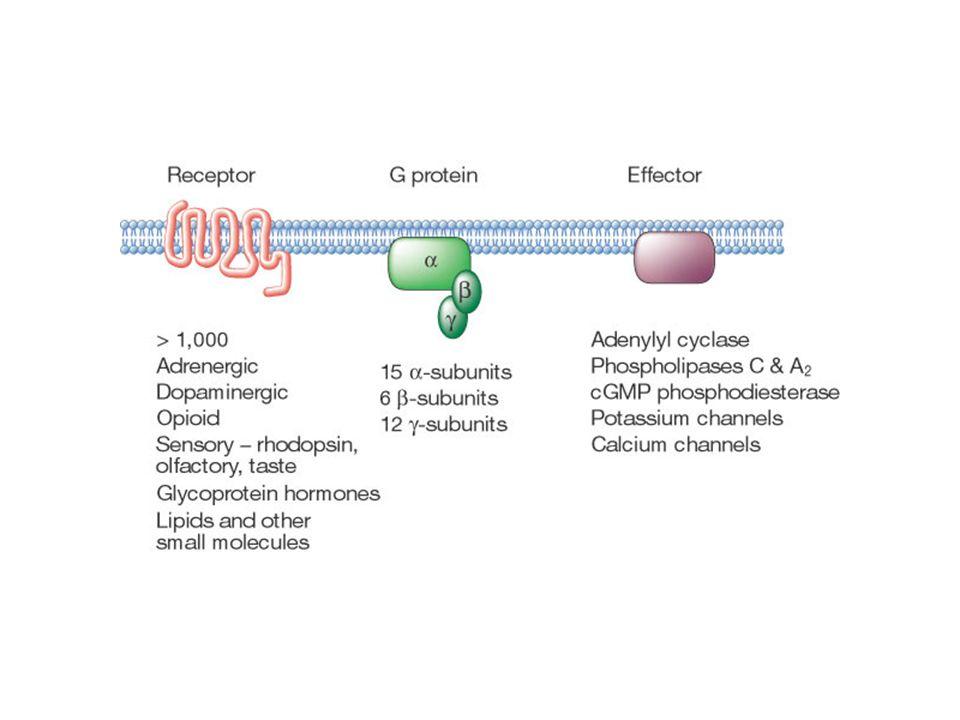 PPPP Fattore di crescita (IGF: Insulin-like Growth Factor; EGF) IPERTROFIA G q Endotelina Angiotensina II Catecolamine (stimolazione -adrenergica) PLC Ca2+ PKC PI3-chinasi (IA) MAP chinasi Stress bio-meccanico INTEGRINA FAK, Src PI3-chinasi (IB) DIVERSE INTERAZIONI AGONISTA/RECETTORE POSSONO GENERARE SEGNALI CHE INDUCONO IPERTROFIA CARDIACA