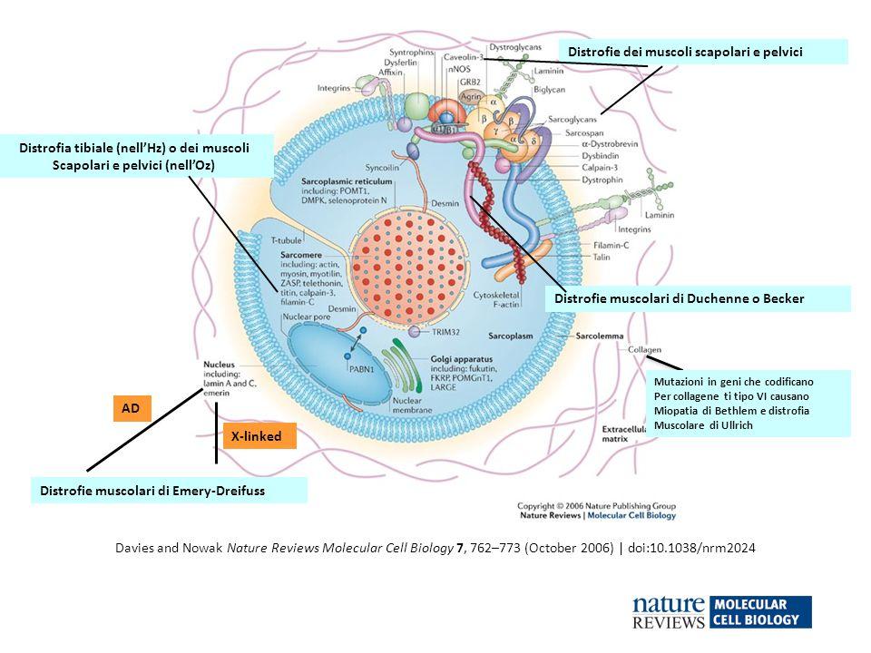 Davies and Nowak Nature Reviews Molecular Cell Biology 7, 762–773 (October 2006) | doi:10.1038/nrm2024 Distrofie muscolari di Duchenne o Becker Distro