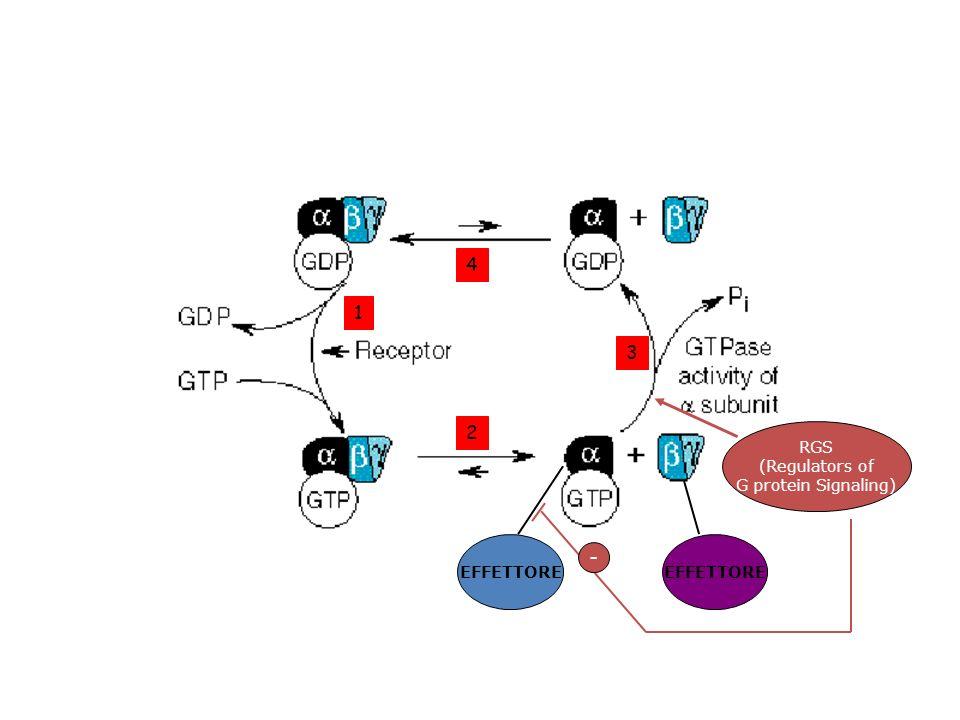 1 2 3 4 RGS (Regulators of G protein Signaling) EFFETTORE -