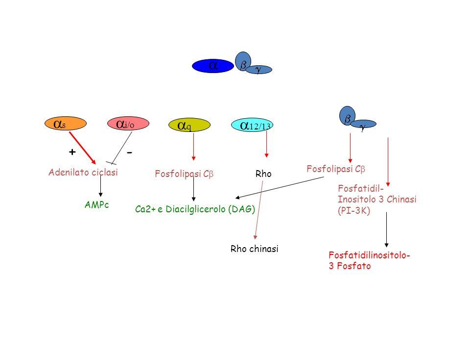 s i/o Adenilato ciclasi AMPc +- Protein kinase A (PKA) Tossina colerica + Tossina della pertosse - Fosfolipasi C