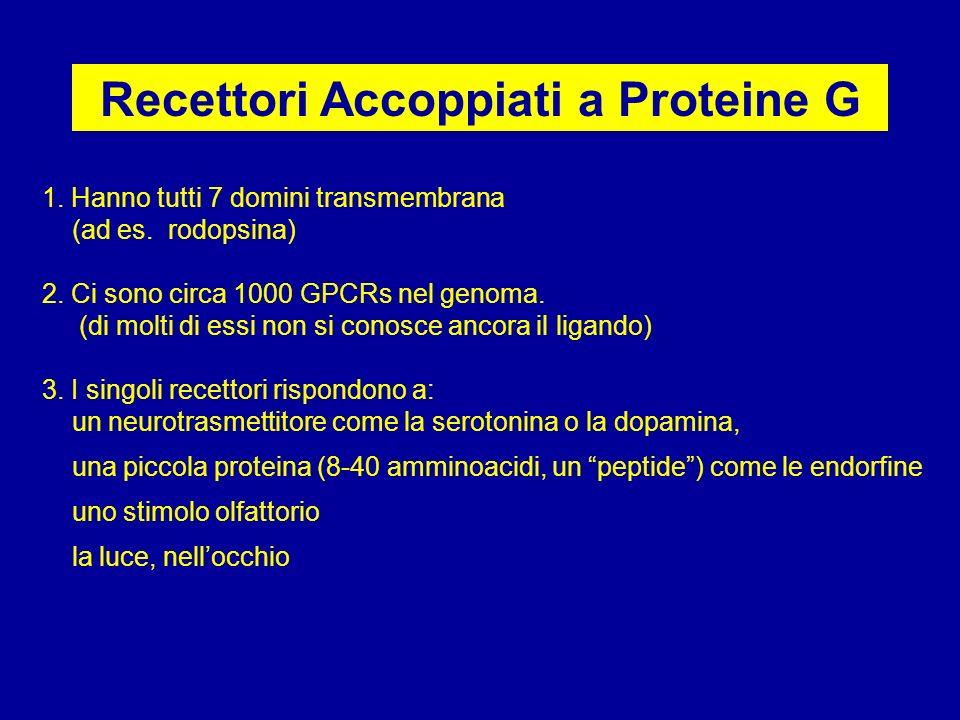Recettori Accoppiati a Proteine G 1. Hanno tutti 7 domini transmembrana (ad es. rodopsina) 2. Ci sono circa 1000 GPCRs nel genoma. (di molti di essi n
