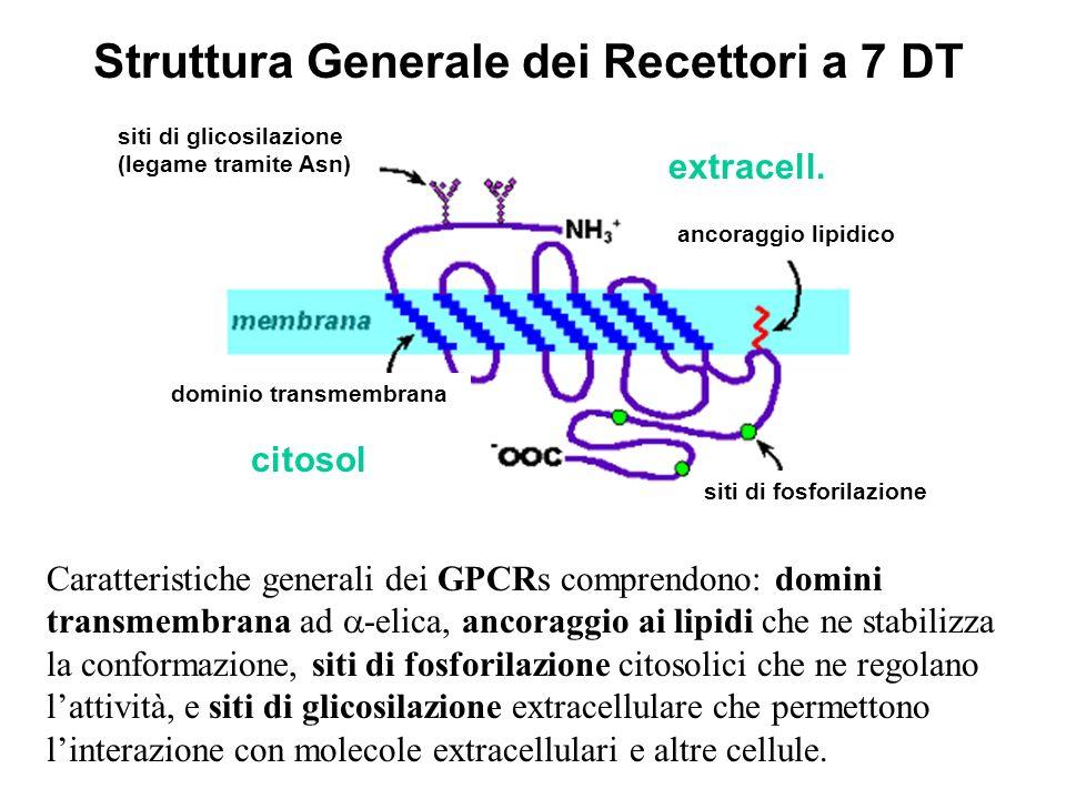 Caratteristiche generali dei GPCRs comprendono: domini transmembrana ad -elica, ancoraggio ai lipidi che ne stabilizza la conformazione, siti di fosfo
