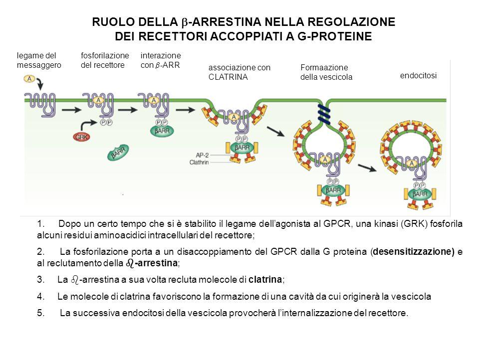 RUOLO DELLA -ARRESTINA NELLA REGOLAZIONE DEI RECETTORI ACCOPPIATI A G-PROTEINE legame del messaggero fosforilazione del recettore interazione con -ARR