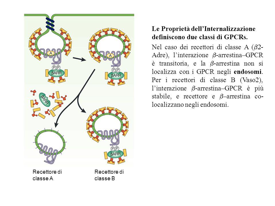 Recettore di classe A Recettore di classe B Le Proprietà dellInternalizzazione definiscono due classi di GPCRs. Nel caso dei recettori di classe A ( -