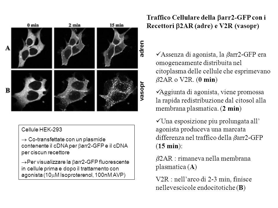 Traffico Cellulare della arr2-GFP con i Recettori 2AR (adre) e V2R (vasopr) Assenza di agonista, la arr2-GFP era omogeneamente distribuita nel citopla