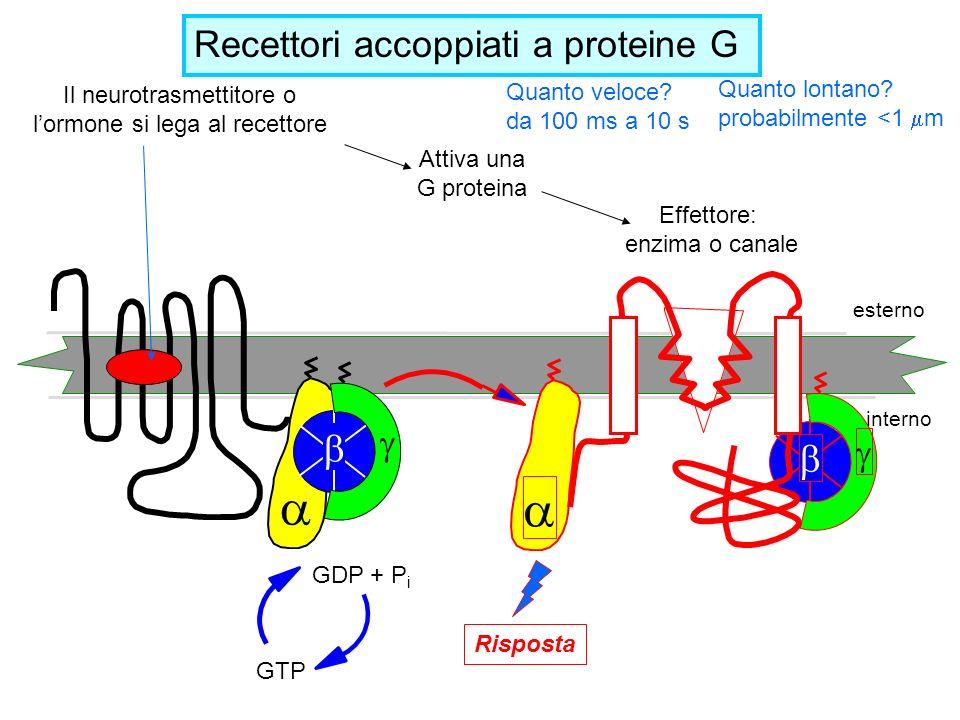 esterno interno GTP GDP + P i Il neurotrasmettitore o lormone si lega al recettore Attiva una G proteina Risposta Effettore: enzima o canale Recettori