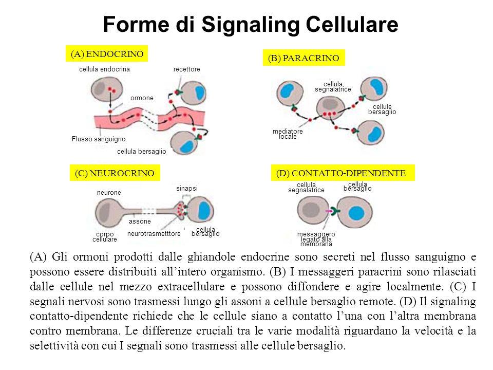 Forme di Signaling Cellulare (A) Gli ormoni prodotti dalle ghiandole endocrine sono secreti nel flusso sanguigno e possono essere distribuiti allinter