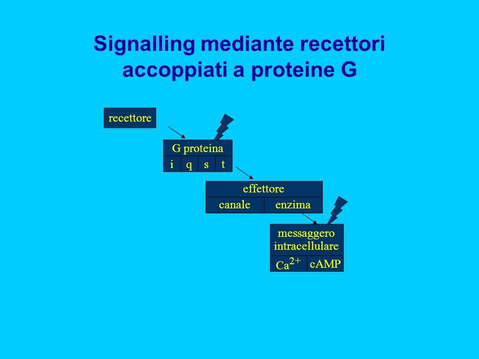 recettore tsqi G proteina cAMP Ca 2+ messaggero intracellulare enzimacanale effettore Signalling mediante recettori accoppiati a proteine G