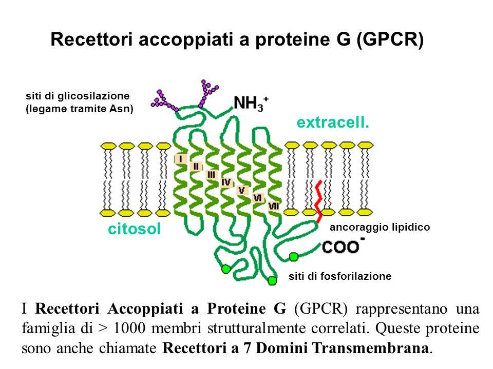 Recettori Accoppiati a Proteine G 1.Hanno tutti 7 domini transmembrana (ad es.