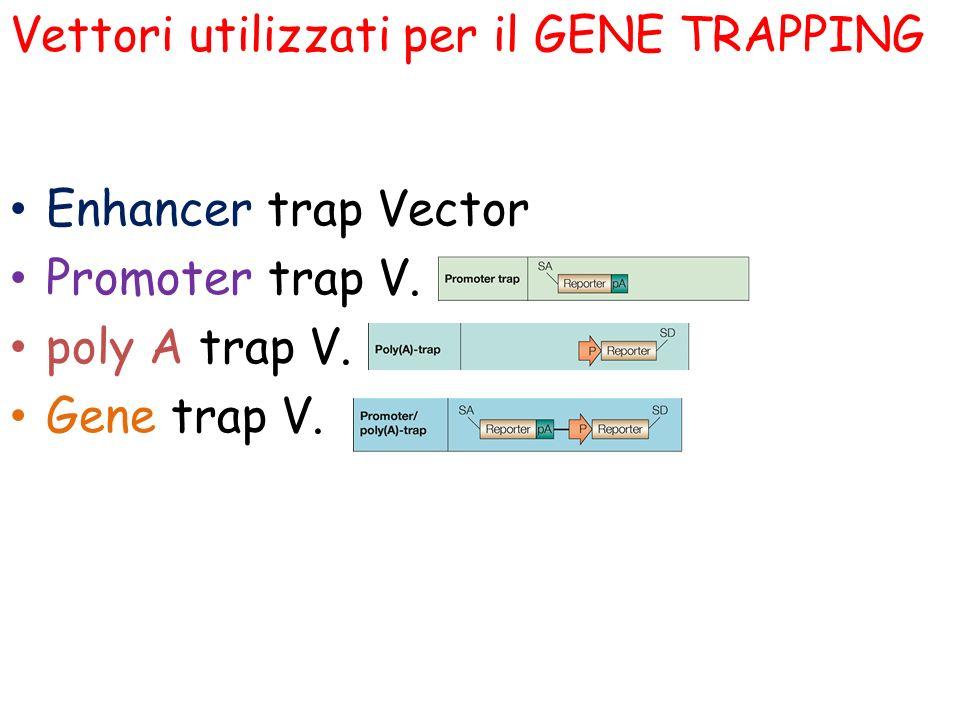 Enhancer trap Vector Promoter trap V. poly A trap V. Gene trap V. Vettori utilizzati per il GENE TRAPPING