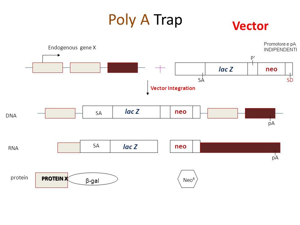 SA P' SD Vector Integration pA β-gal Neo R DNA RNA protein Poly A Trap Endogenous gene X SA PROTEIN X lac Z neo lac Zneo lac Z neo Vector Promotore e