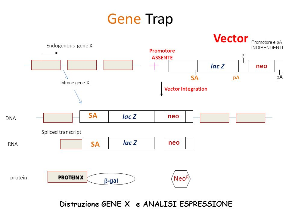 SA Endogenous gene X SA pA P' pA Vector Integration DNA RNA protein Spliced transcript β-gal Neo R Gene Trap SA PROTEIN X Vector lac Z neo lac Z neo l