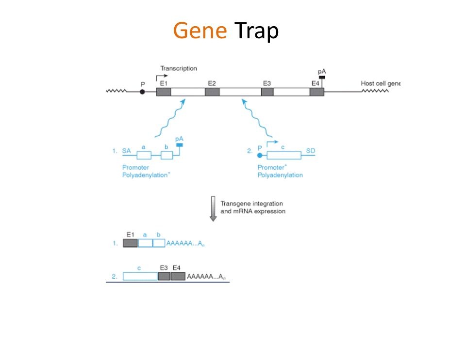 Gene Trap