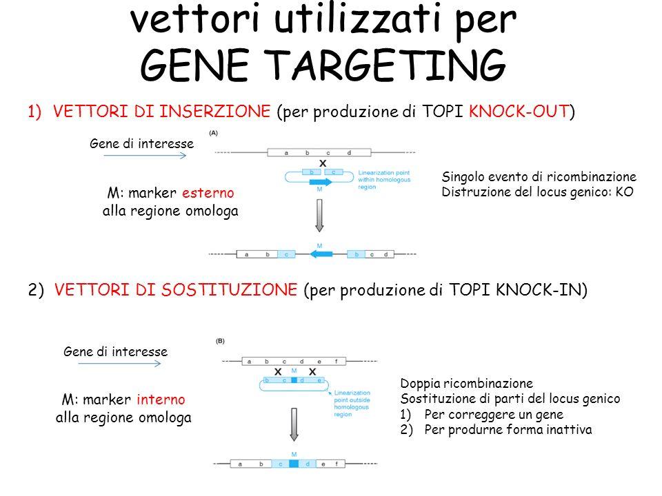 vettori utilizzati per GENE TARGETING 1)VETTORI DI INSERZIONE (per produzione di TOPI KNOCK-OUT) 2) VETTORI DI SOSTITUZIONE (per produzione di TOPI KN
