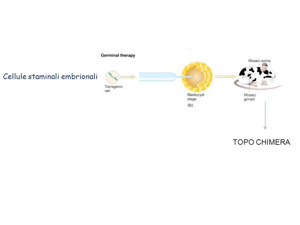 Geni reporter The E.coli lacZ gene (produzione di beta-Gal) The firefly luciferase gene The jelly fish green flourescence protein (GFP) gene Lac Z staining: colorazione istochimica che rivela la presenza della beta-galattosidasi.