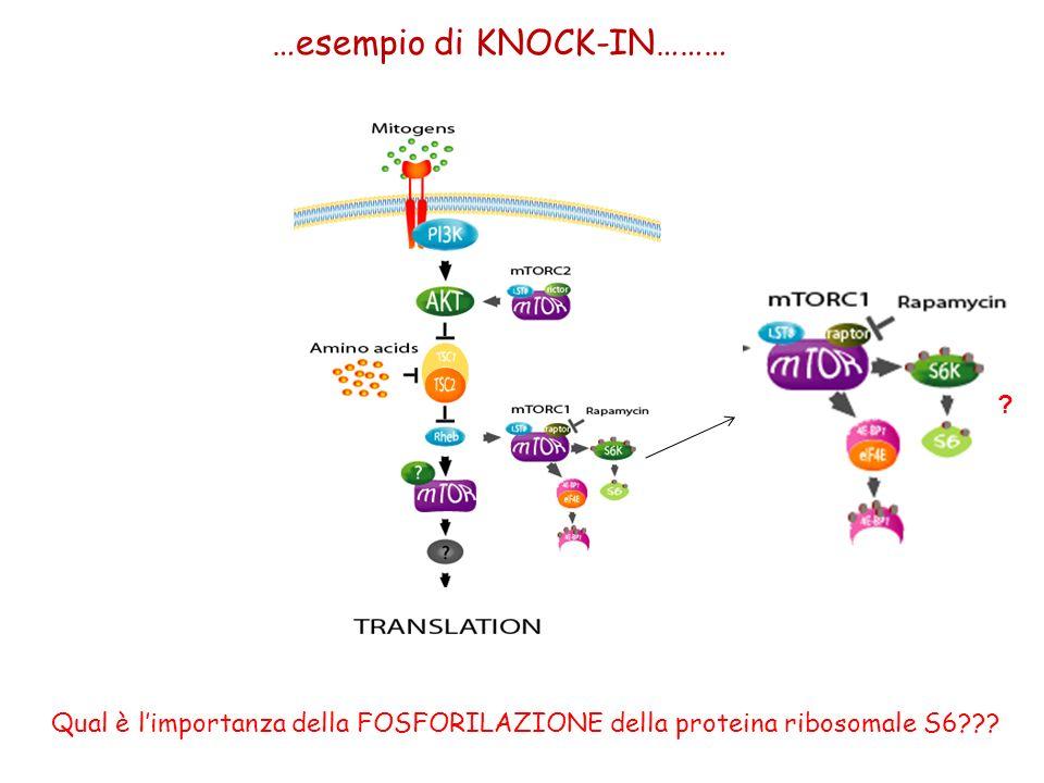 Ruvinsky I. et.al. Genes Dev. 2005;19:2199-2211 …esempio di KNOCK-IN……… Qual è limportanza della FOSFORILAZIONE della proteina ribosomale S6??? ?