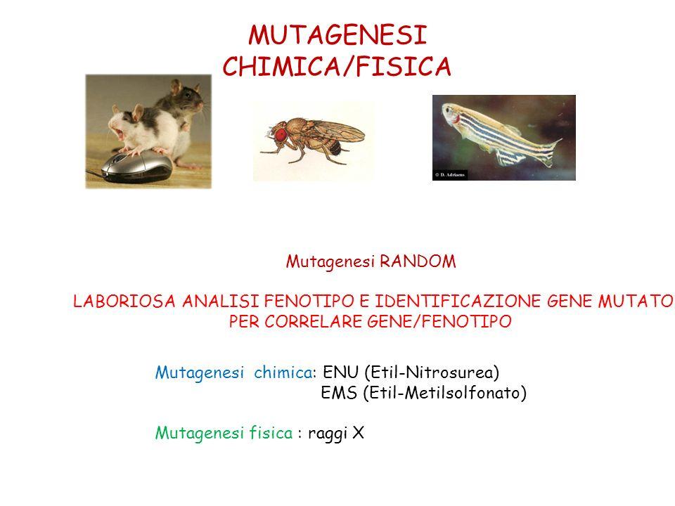 MUTAGENESI CHIMICA/FISICA Mutagenesi chimica: ENU (Etil-Nitrosurea) EMS (Etil-Metilsolfonato) Mutagenesi fisica : raggi X Mutagenesi RANDOM LABORIOSA