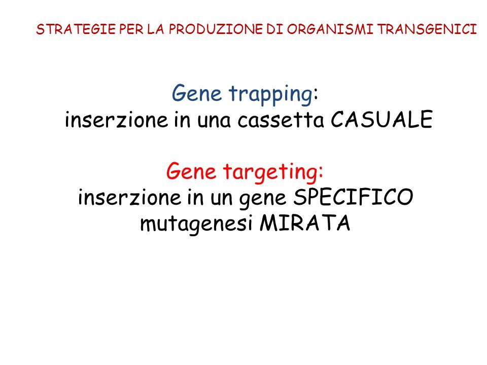 Gene trapping: inserzione in una cassetta CASUALE Gene targeting: inserzione in un gene SPECIFICO mutagenesi MIRATA STRATEGIE PER LA PRODUZIONE DI ORG