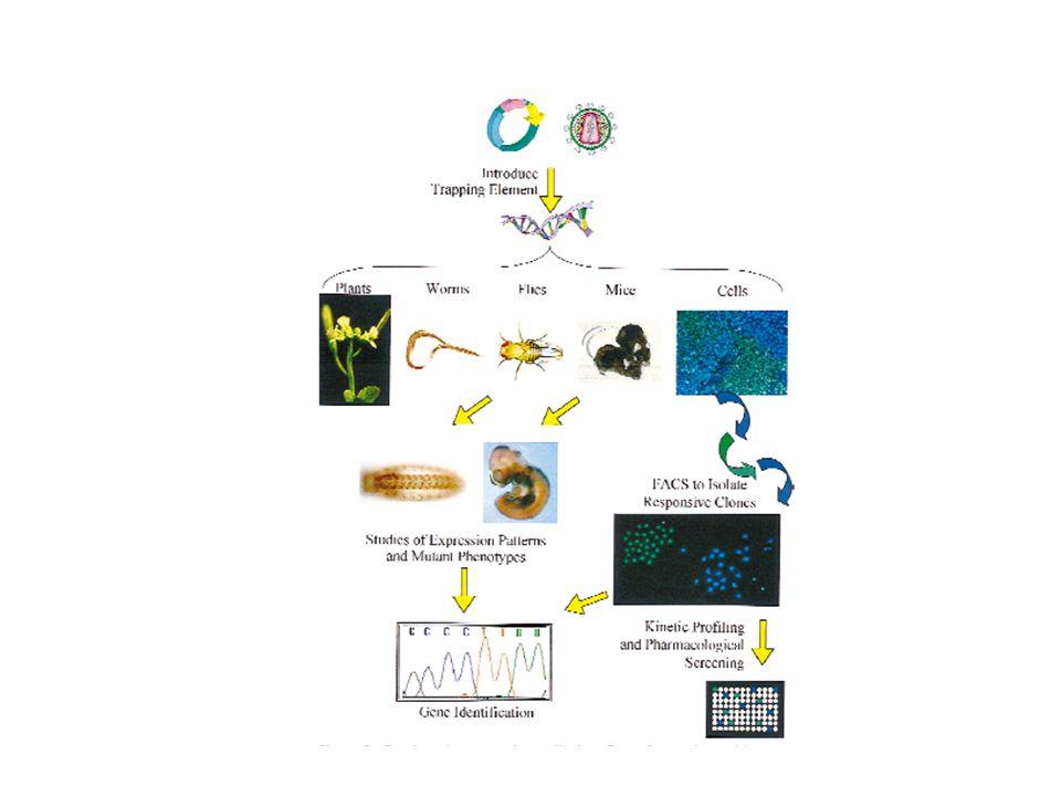 Il GENE TRAPPING 1) Consente lisolamento di nuovi geni 2) Consente la determinazione del profilo di espressione del gene intrappolato 3) È mutagenico: produce knockout X-gal staining of E9.5d embryo showing reporter gene expression associated with a secretory trap insertion in a novel gene.