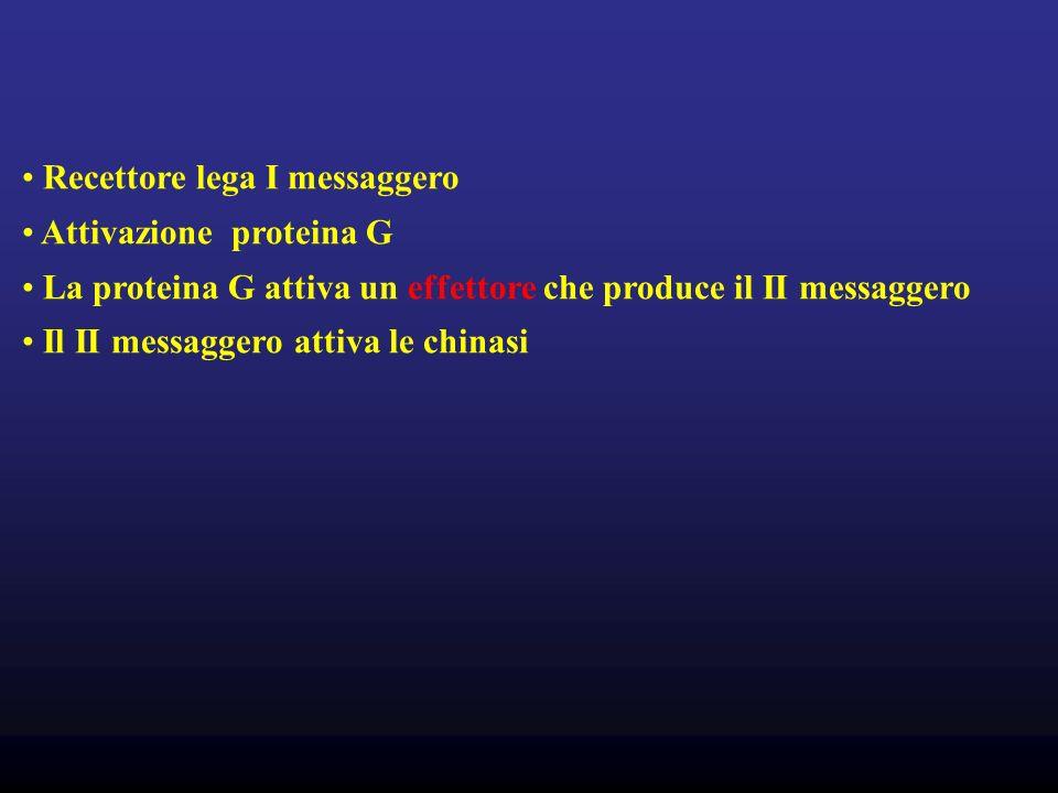 Recettore lega I messaggero Attivazione proteina G La proteina G attiva un effettore che produce il II messaggero Il II messaggero attiva le chinasi