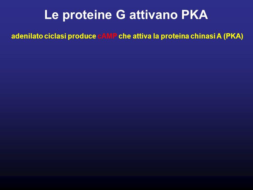 Le proteine G attivano PKA adenilato ciclasi produce cAMP che attiva la proteina chinasi A (PKA)