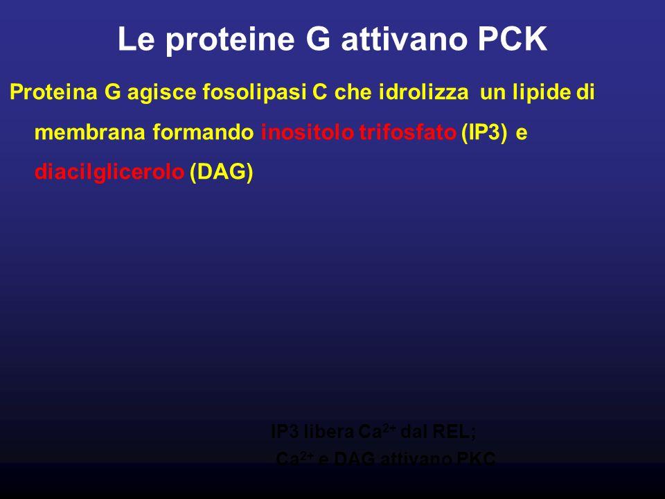 Le proteine G attivano PCK Proteina G agisce fosolipasi C che idrolizza un lipide di membrana formando inositolo trifosfato (IP3) e diacilglicerolo (DAG) IP3 libera Ca 2+ dal REL; Ca 2+ e DAG attivano PKC