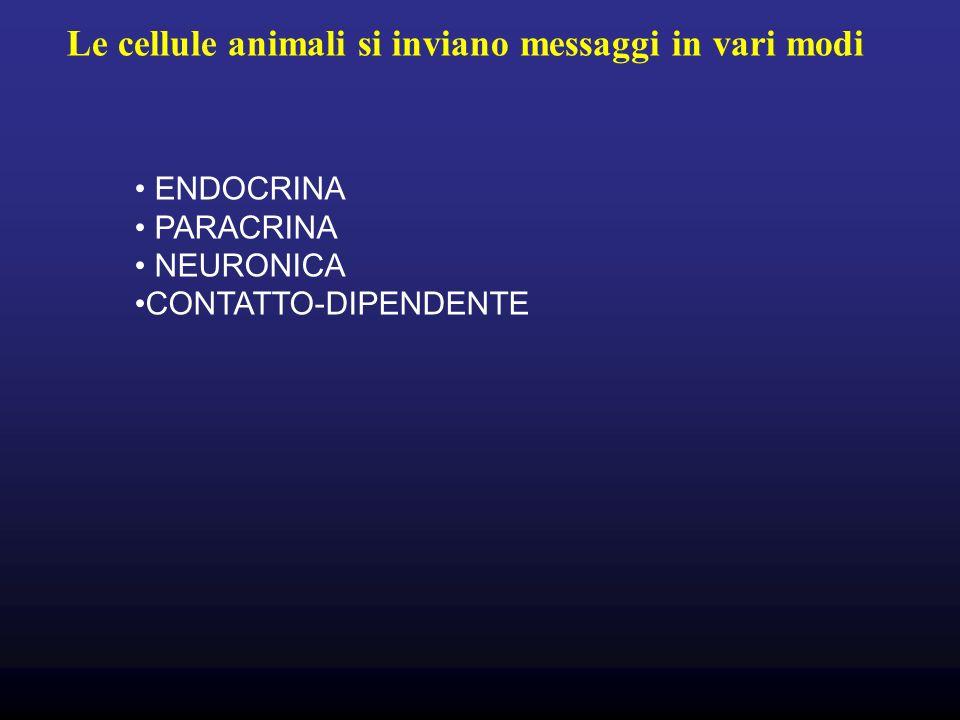 Le cellule animali si inviano messaggi in vari modi ENDOCRINA PARACRINA NEURONICA CONTATTO-DIPENDENTE