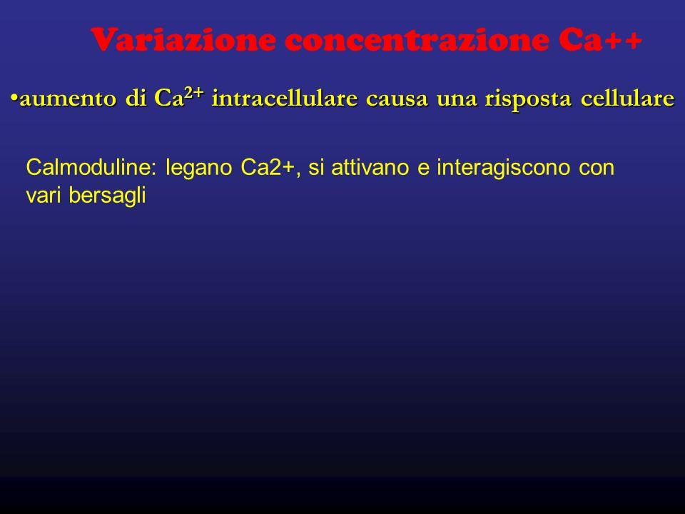aumento di Ca 2+ intracellulare causa una risposta cellulareaumento di Ca 2+ intracellulare causa una risposta cellulare Variazione concentrazione Ca++ Calmoduline: legano Ca2+, si attivano e interagiscono con vari bersagli