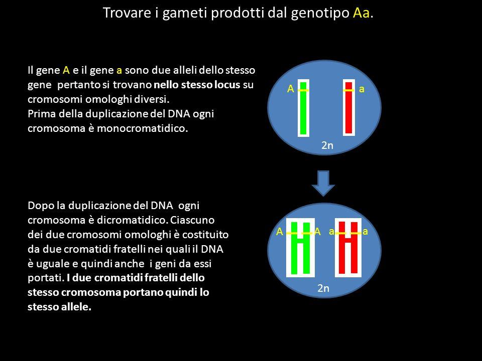 Il gene A e il gene a sono due alleli dello stesso gene pertanto si trovano nello stesso locus su cromosomi omologhi diversi. Prima della duplicazione