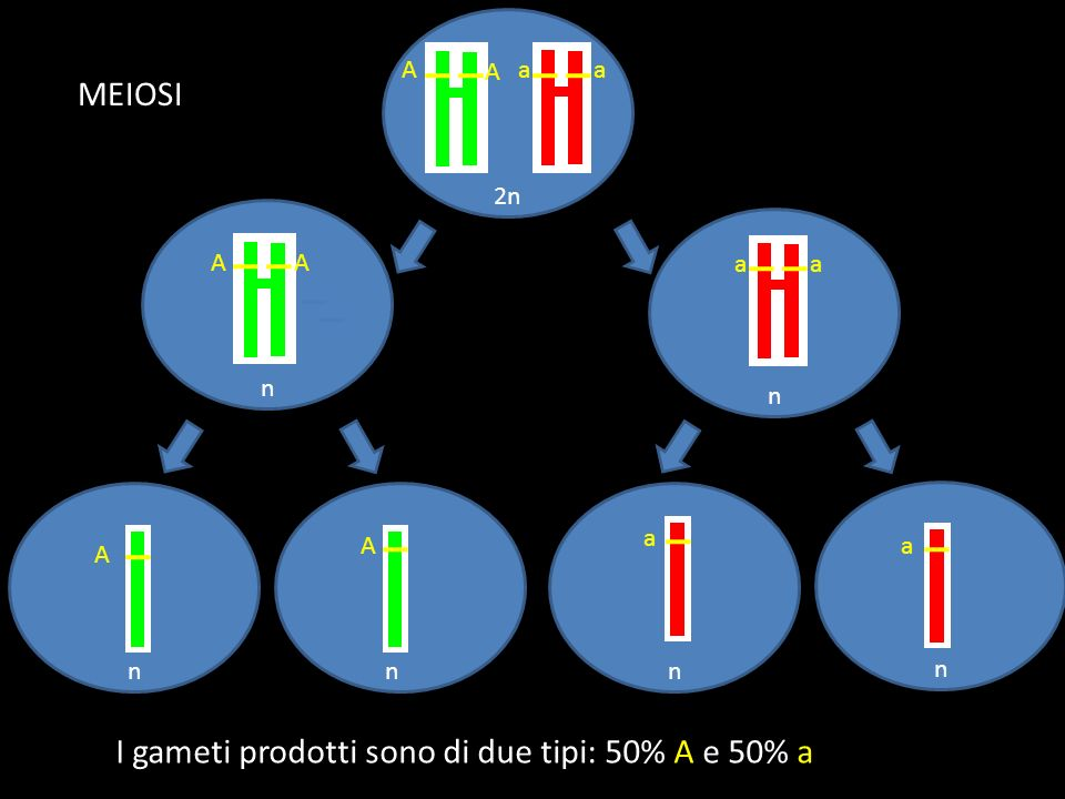 2n n n n nnn A Aaa aa AA A A a a I gameti prodotti sono di due tipi: 50% A e 50% a MEIOSI