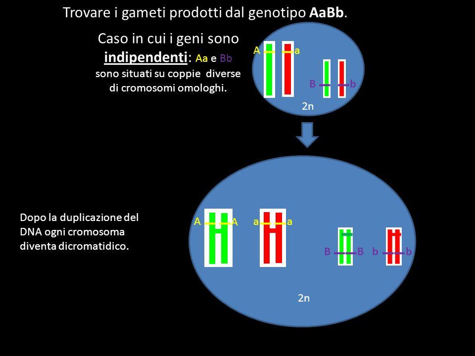 Trovare i gameti prodotti dal genotipo AaBb. Caso in cui i geni sono indipendenti: Aa e Bb sono situati su coppie diverse di cromosomi omologhi. 2n Aa