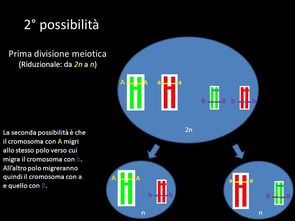 2n BbbB A Aaa nn A A bb La seconda possibilità è che il cromosoma con A migri allo stesso polo verso cui migra il cromosoma con b. Allaltro polo migre