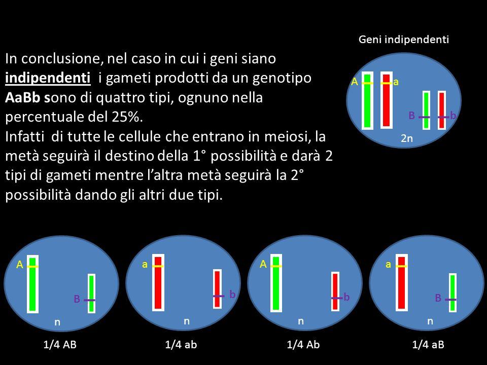 In conclusione, nel caso in cui i geni siano indipendenti i gameti prodotti da un genotipo AaBb sono di quattro tipi, ognuno nella percentuale del 25%