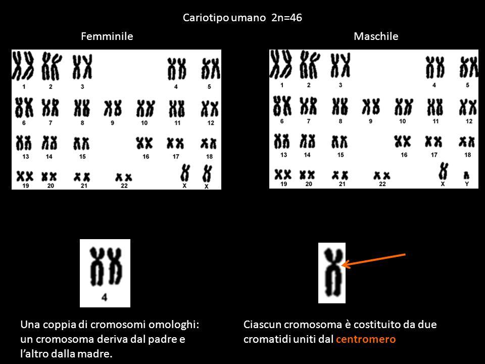 Cariotipo umano 2n=46 FemminileMaschile Una coppia di cromosomi omologhi: un cromosoma deriva dal padre e laltro dalla madre. Ciascun cromosoma è cost