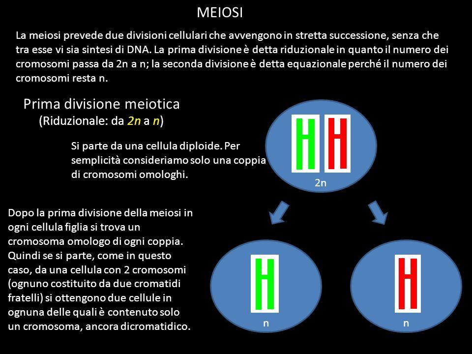 MEIOSI La meiosi prevede due divisioni cellulari che avvengono in stretta successione, senza che tra esse vi sia sintesi di DNA. La prima divisione è