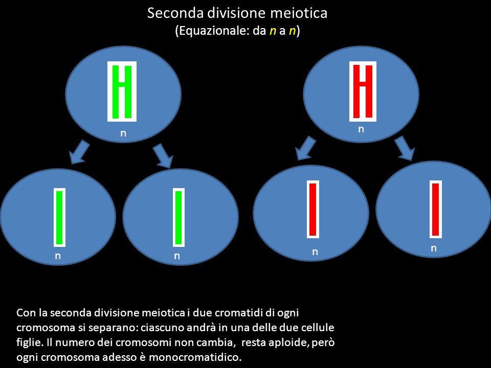 n n nn Seconda divisione meiotica (Equazionale: da n a n) Con la seconda divisione meiotica i due cromatidi di ogni cromosoma si separano: ciascuno andrà in una delle due cellule figlie.