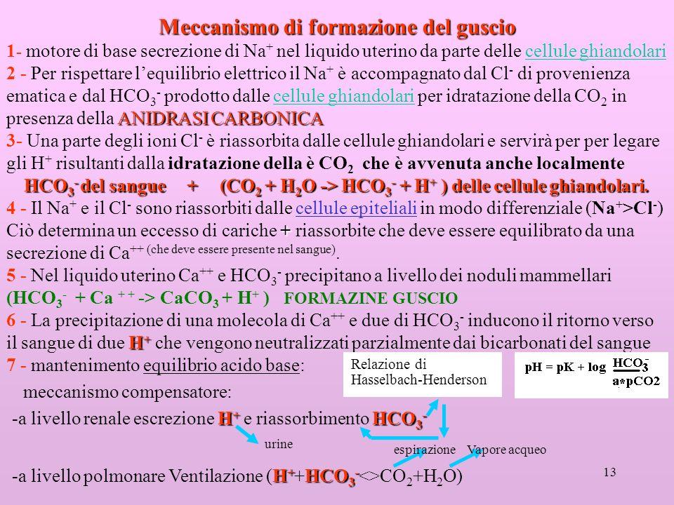 13 Meccanismo di formazione del guscio 1 - motore di base secrezione di Na + nel liquido uterino da parte delle cellule ghiandolari ANIDRASI CARBONICA 2 - Per rispettare lequilibrio elettrico il Na + è accompagnato dal Cl - di provenienza ematica e dal HCO 3 - prodotto dalle cellule ghiandolari per idratazione della CO 2 in presenza della ANIDRASI CARBONICA 3- Una parte degli ioni Cl - è riassorbita dalle cellule ghiandolari e servirà per per legare gli H + risultanti dalla idratazione della è CO 2 che è avvenuta anche localmente HCO 3 - del sangue + (CO 2 + H 2 O -> HCO 3 - + H + ) delle cellule ghiandolari.