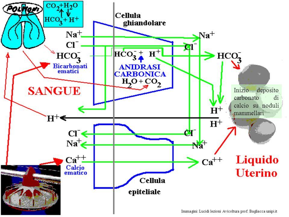 14 Immagini: Lucidi lezioni Avicoltura prof. Bagliacca unipi.it Inizio deposito carbonato di calcio su noduli mammellari