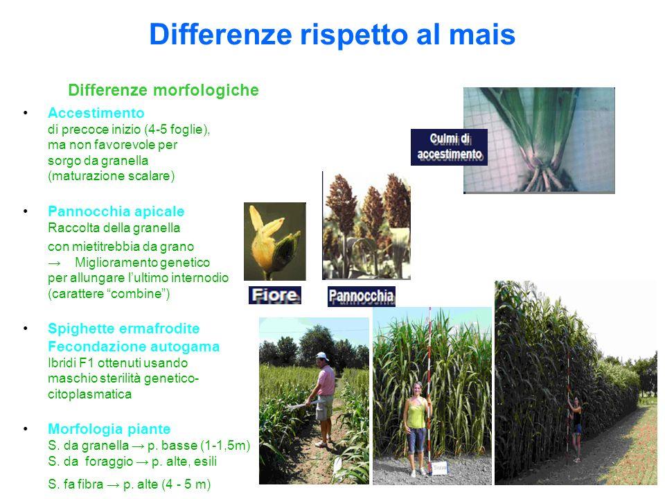 Differenze morfologiche Accestimento di precoce inizio (4-5 foglie), ma non favorevole per sorgo da granella (maturazione scalare) Pannocchia apicale