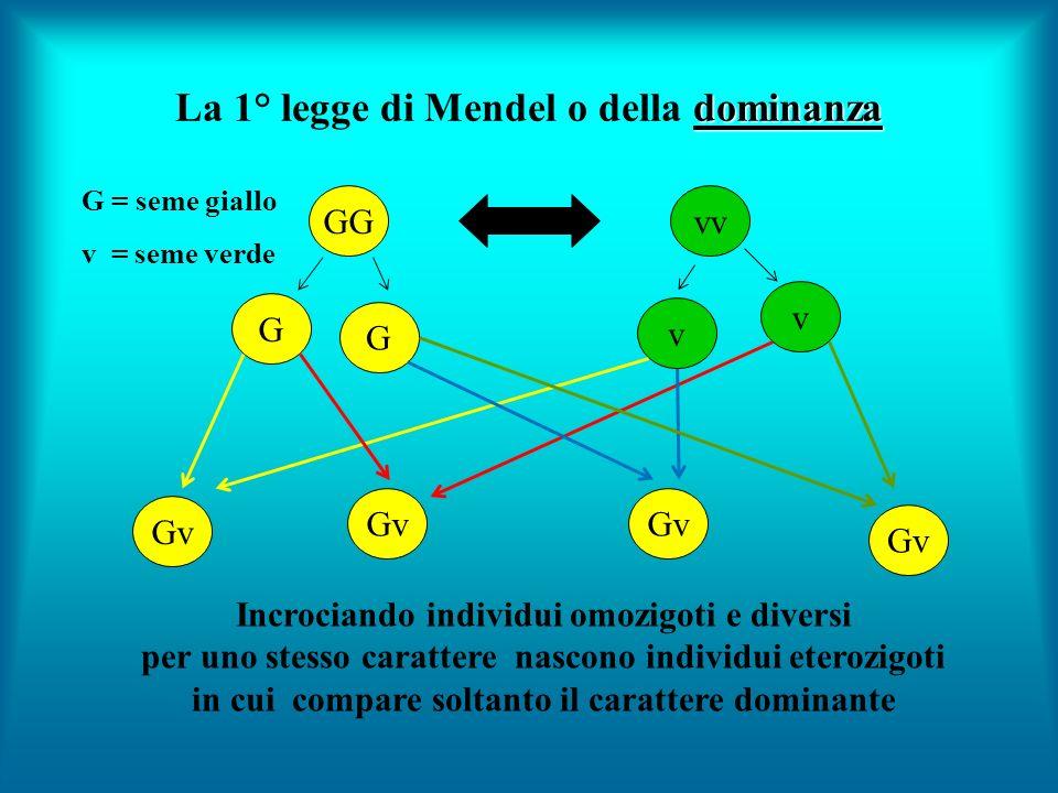 dominanza La 1° legge di Mendel o della dominanza G = seme giallo v = seme verde GGvv Gv Incrociando individui omozigoti e diversi per uno stesso cara
