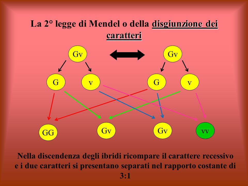 disgiunzione dei caratteri La 2° legge di Mendel o della disgiunzione dei caratteri Gv GG Gv vv Nella discendenza degli ibridi ricompare il carattere