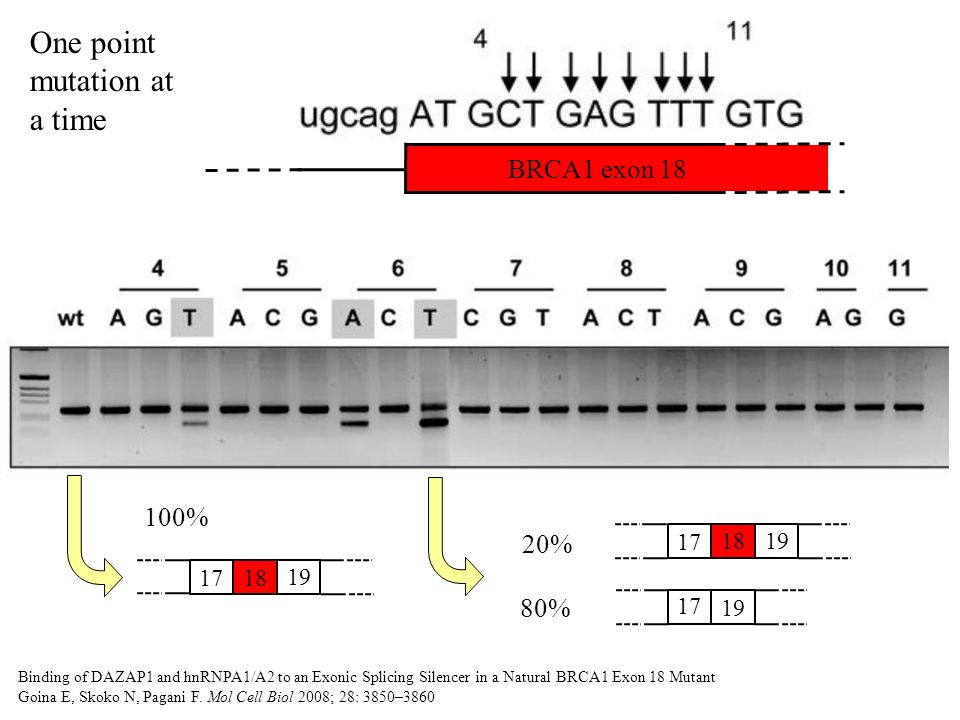 Two point mutations at a time BRCA1 exon 18 Binding of DAZAP1 and hnRNPA1/A2 to an Exonic Splicing Silencer in a Natural BRCA1 Exon 18 Mutant Goina E, Skoko N, Pagani F.