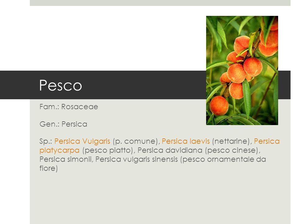 Fam.: Rosaceae Gen.: Persica Sp.: Persica Vulgaris (p. comune), Persica laevis (nettarine), Persica platycarpa (pesco piatto), Persica davidiana (pesc